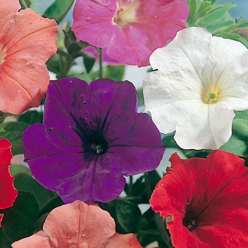 Frö till Petunia 'Confetti Mixed' F2, Petunia x hybrida