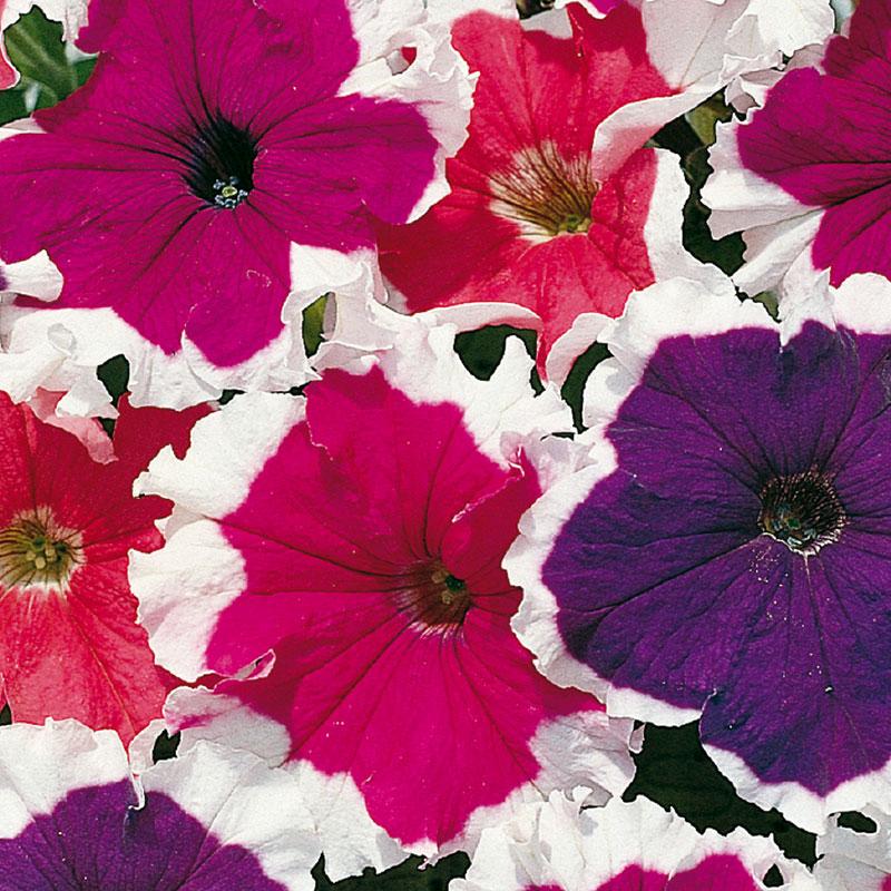 Frö till Petunia 'Frost Mixed ' F1, Petunia x hybrida