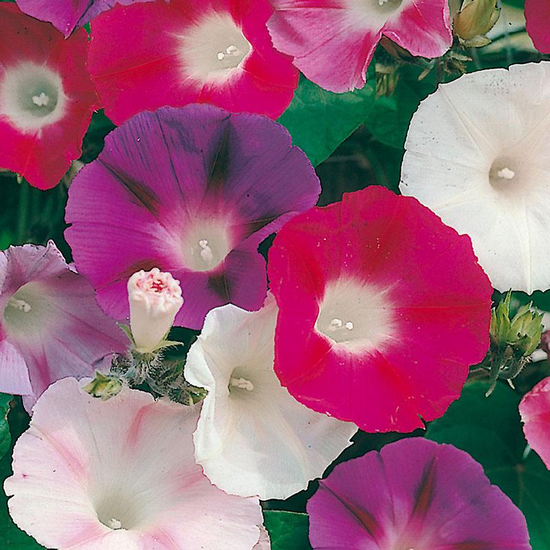 Frö till Purpurvinda 'Morning Glory Mixed', Ipomoea purpurea