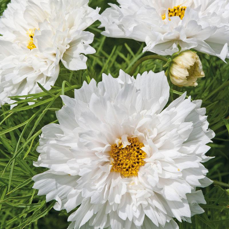 Frö till Rosenskära 'Double Dutch White', Cosmos bipinnatus