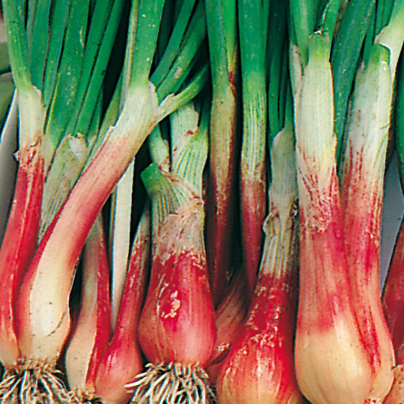 Frö till Salladslök 'North Holland Blood Red', Allium cepa