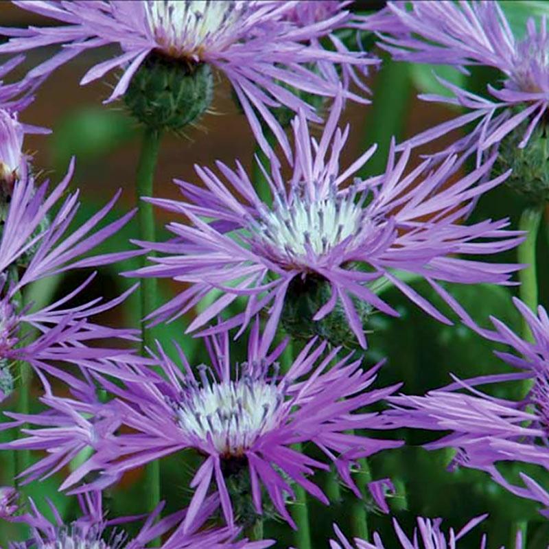 Frö till Snäckklint 'Desert Star', Cyanopsis muricata
