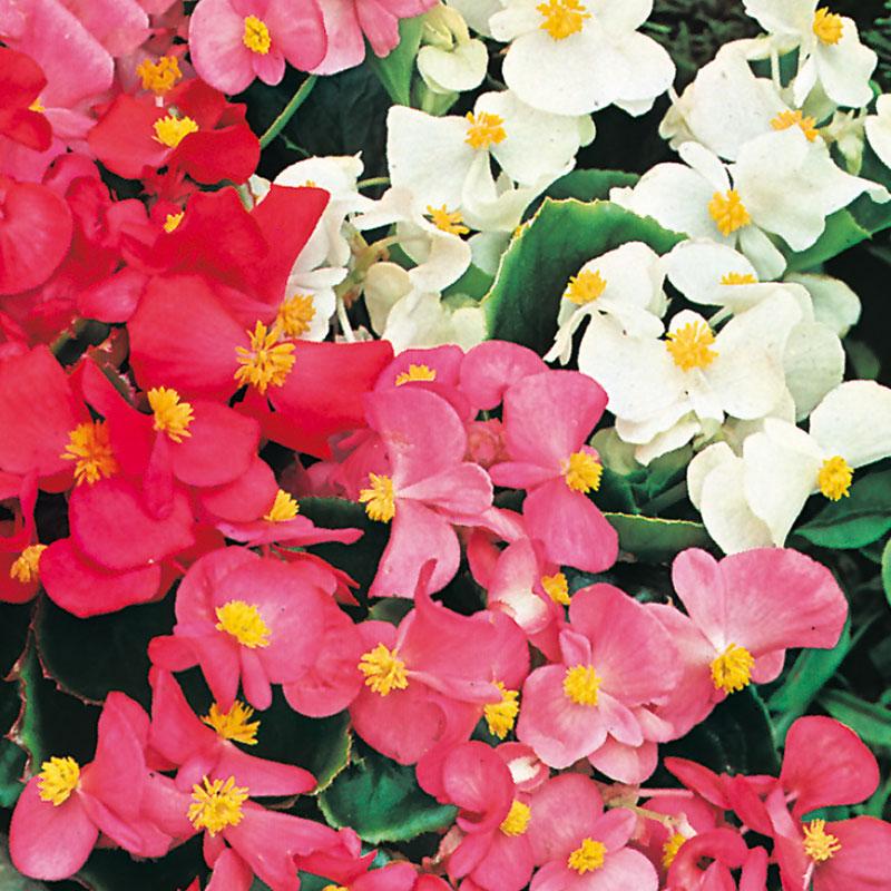 Frö till Sommarbegonia 'Summer Rainbow' F2, Begonia x semperflorens