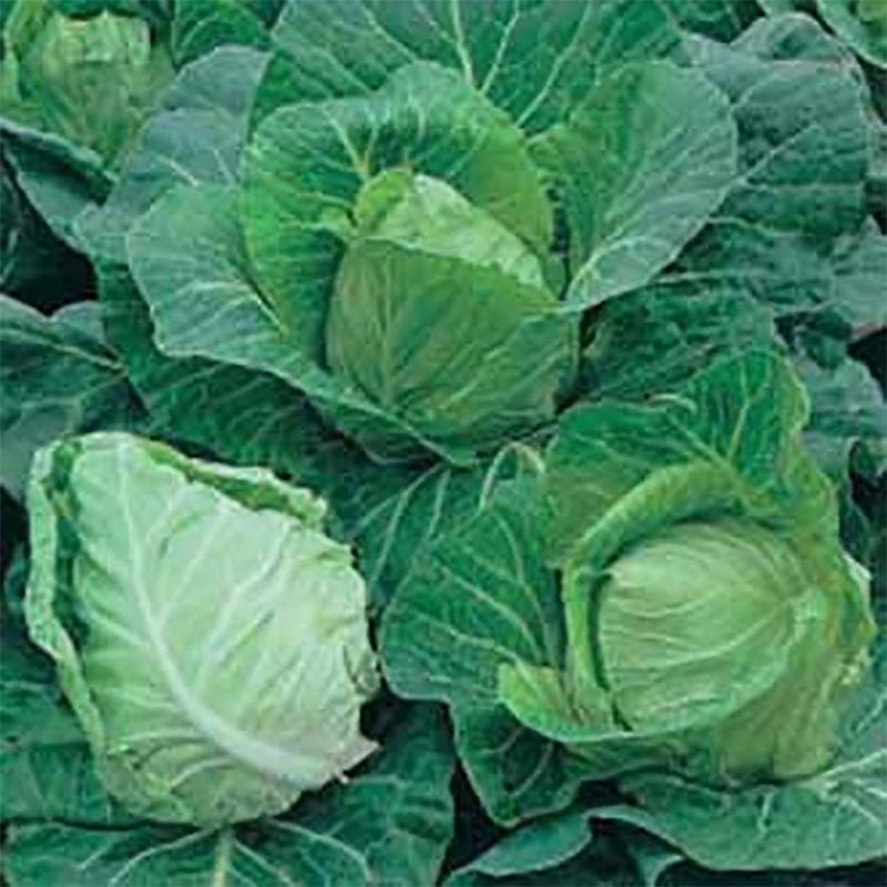 Frö till Spetskål 'Greyhound', Brassica oleracea
