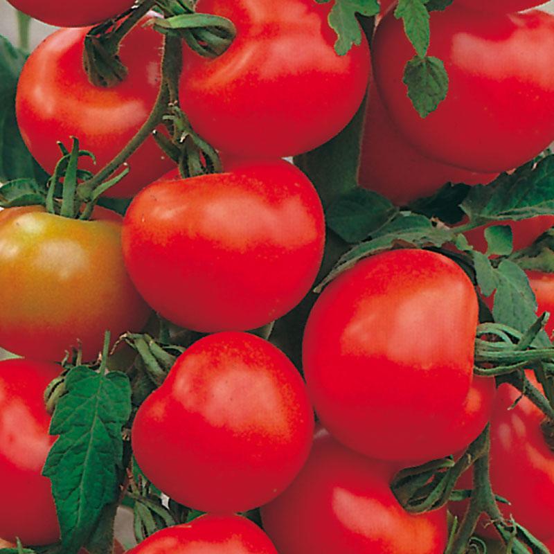 Frö till tomat 'Alicante'