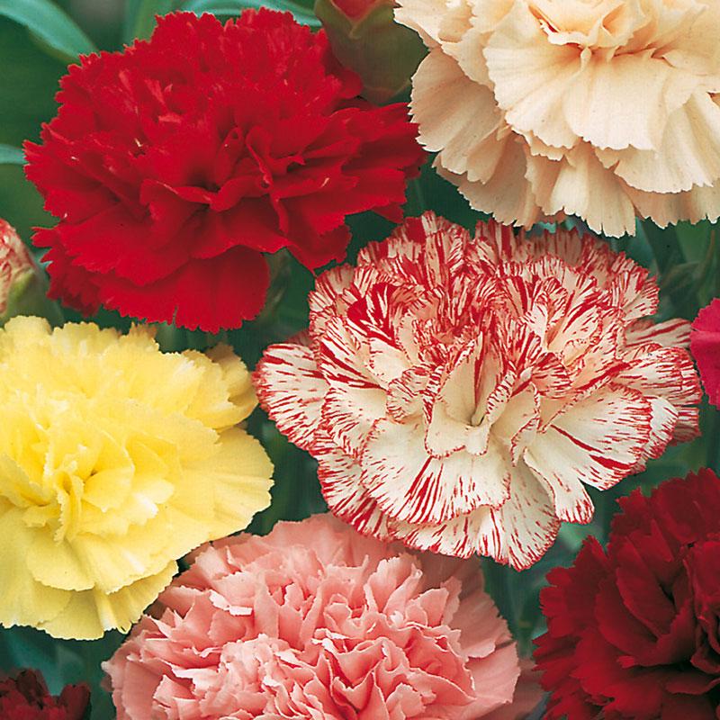 Frö till Trädgårdsnejlika 'Choice Double Mixed', Dianthus caryophyllus
