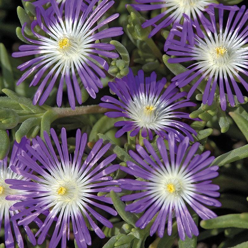 Frö till Vitögd frövisare 'Stardust', Delosperma floribundum