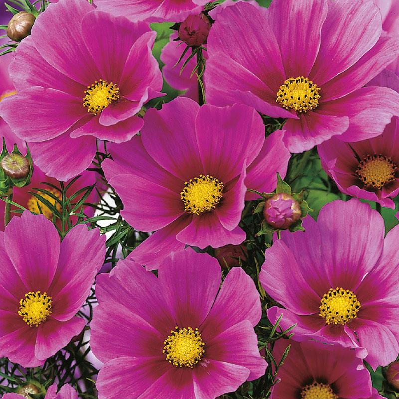 Frö till Rosenskära 'Versailles Dark Rose', Cosmos bipinnatus