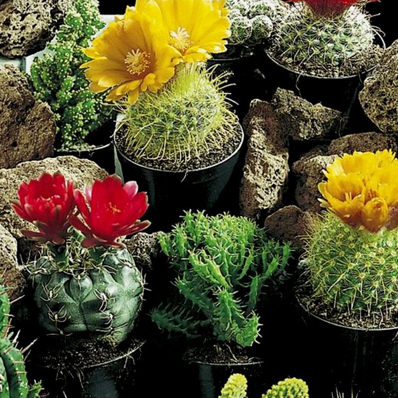 Frö till Kaktus