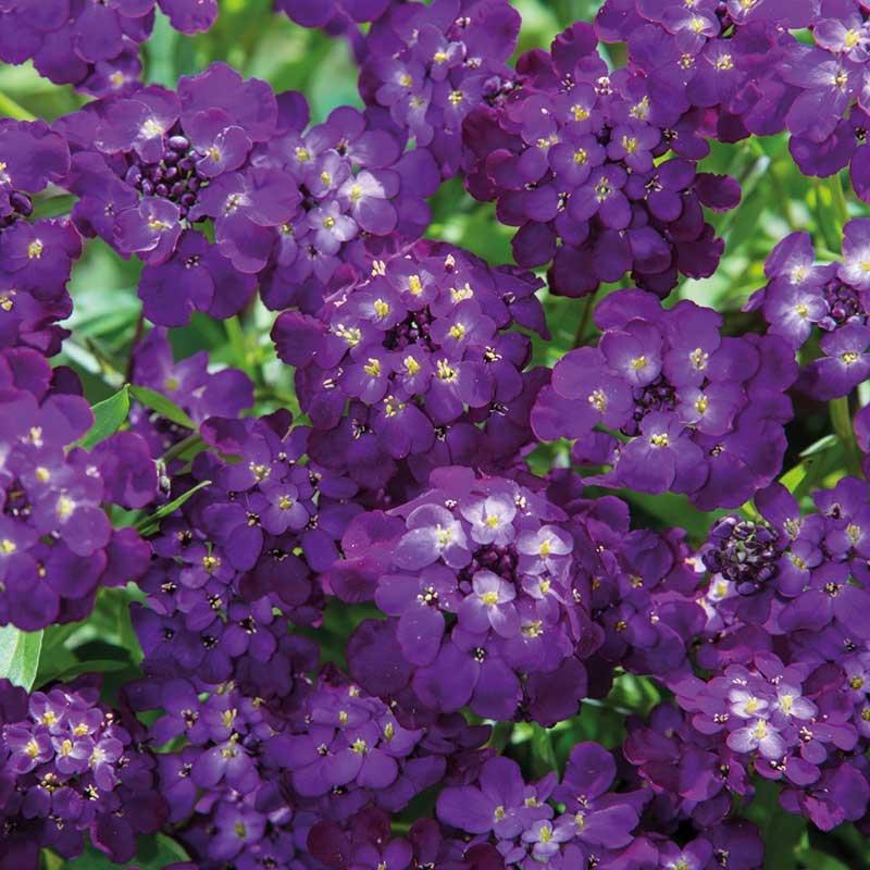 Roseniberis 'Purple Rain'