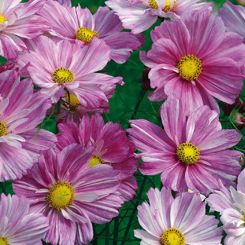 Rosenskära 'Rosetta Pink Stripe'