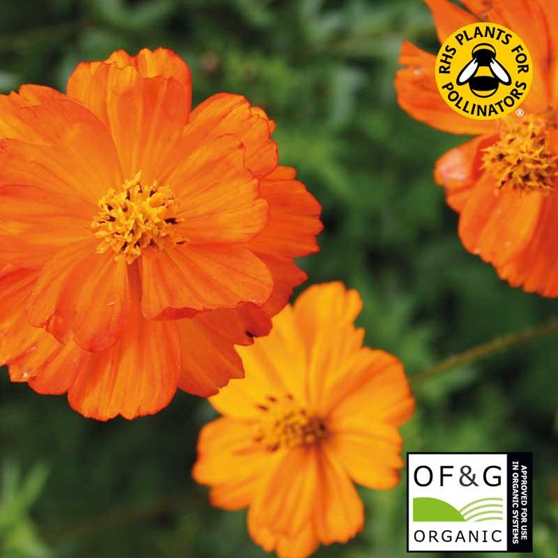 Rosenskära 'Sulphur Orange', ekologisk