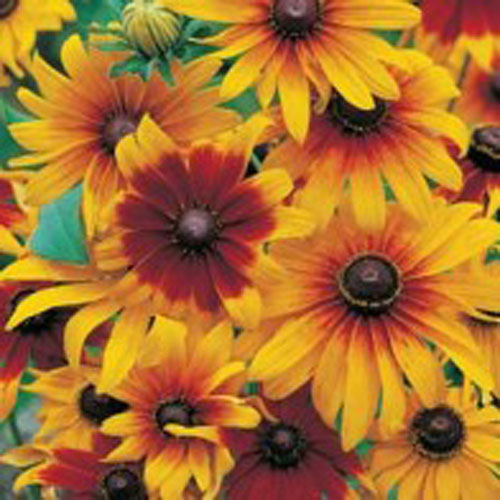 Sommarrudbeckia, Rudbeckia hirta var. pulcherrima 'Gloriosa Daisy'