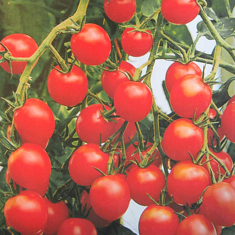 Frö till Tomat 'Gardeners Delight'