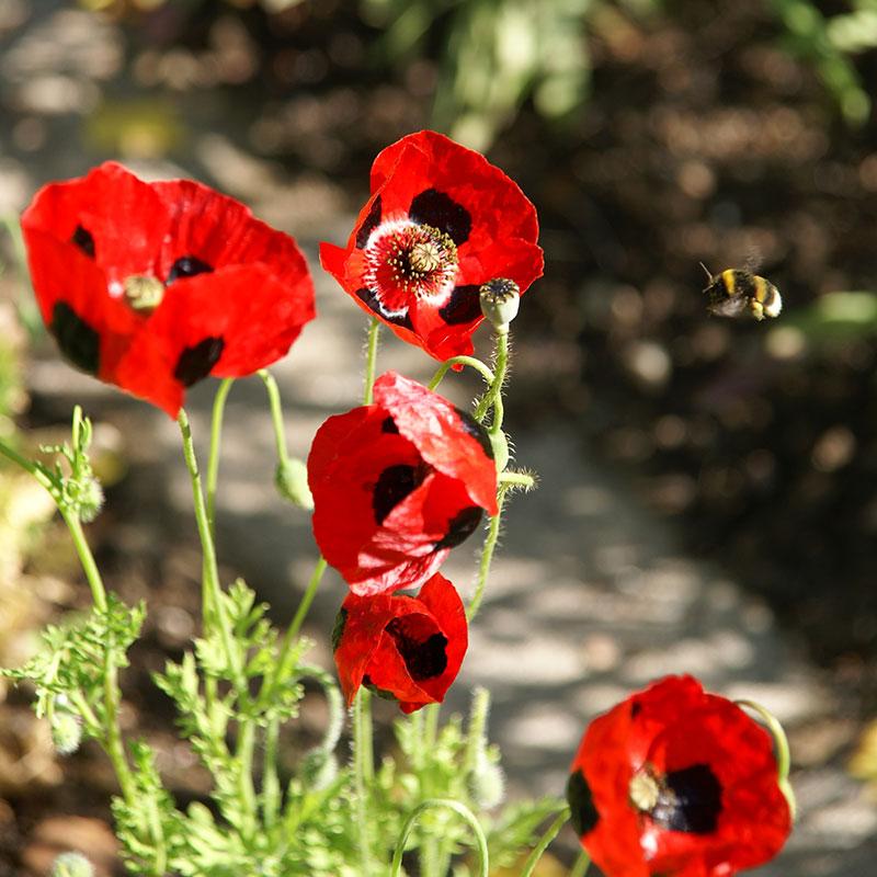 Fläckvallmo Ladybird röd med svarta fläckar