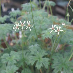 P. alchemilloides - fröer-vildpelargon, vildart, vildpelargonfrö, frö pelargonfrö, pelargonium