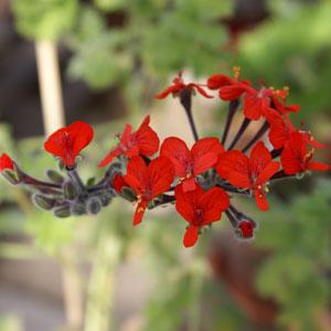 P. fulgidum - fröer-vildpelargon, vildart, vildpelargonfrö, frö pelargonfrö, pelargonium