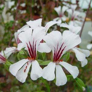 P. peltatum - fröer, vildpelargon, vildart, vildpelargonfrö, frö pelargonfrö, pelargonium