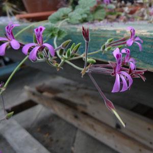 P. reniforme - fröer-vildpelargon, vildart, vildpelargonfrö, frö pelargonfrö, pelargonium
