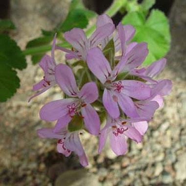 P. capitatum - fröer -vildpelargon, vildart, vildpelargonfrö, frö pelargonfrö, pelargonium