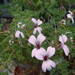 P. trifidum, pink form-