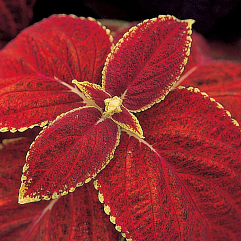 Frö till palettblad, coleus 'Giant Exhibition Rustic Red'