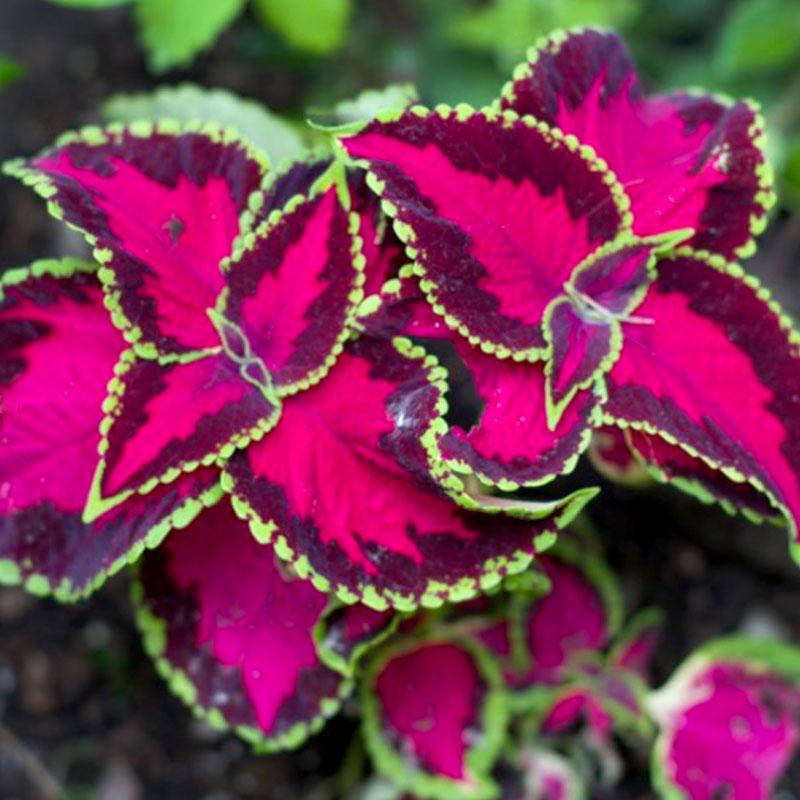 Palettblad Fairway Rose