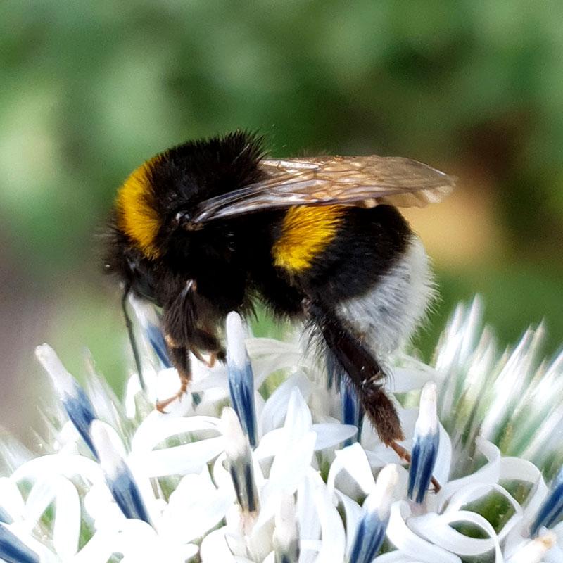 humlor för pollinering