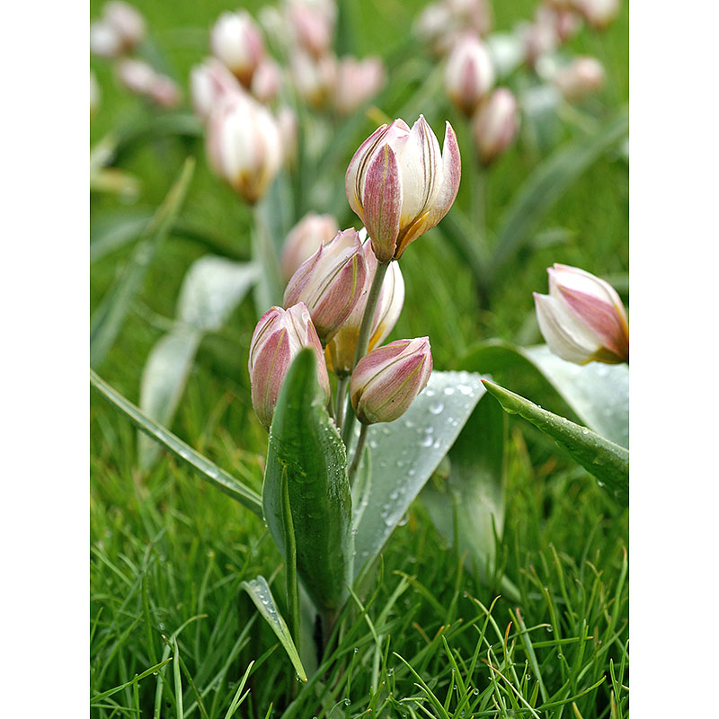 Porslinstulpan, vildtulpan Tulipa polychroma