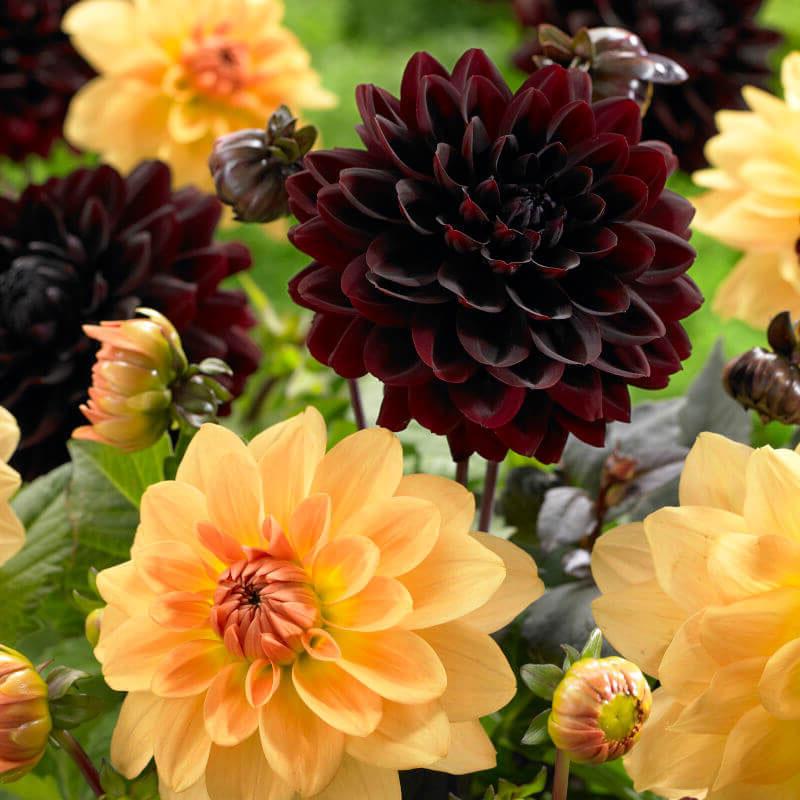 Knöl till Dahliamix Jolly Bumblebee