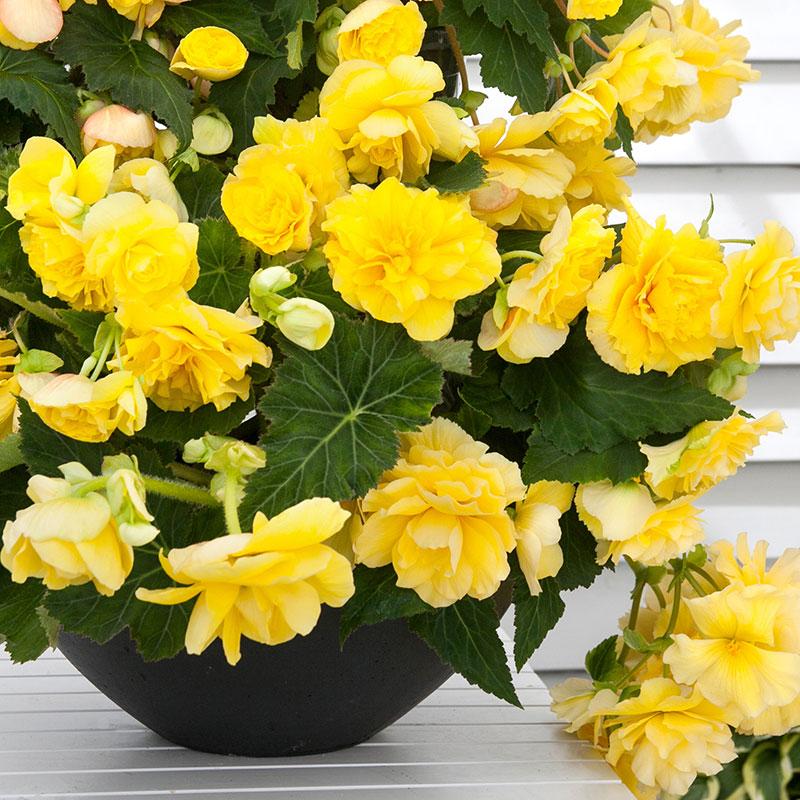 Knöl till Fragantbegonia 'Odorosa Yellow'