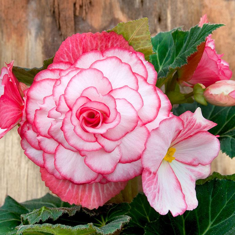 Knöl till Knölbegonia 'Bouton de Rose'