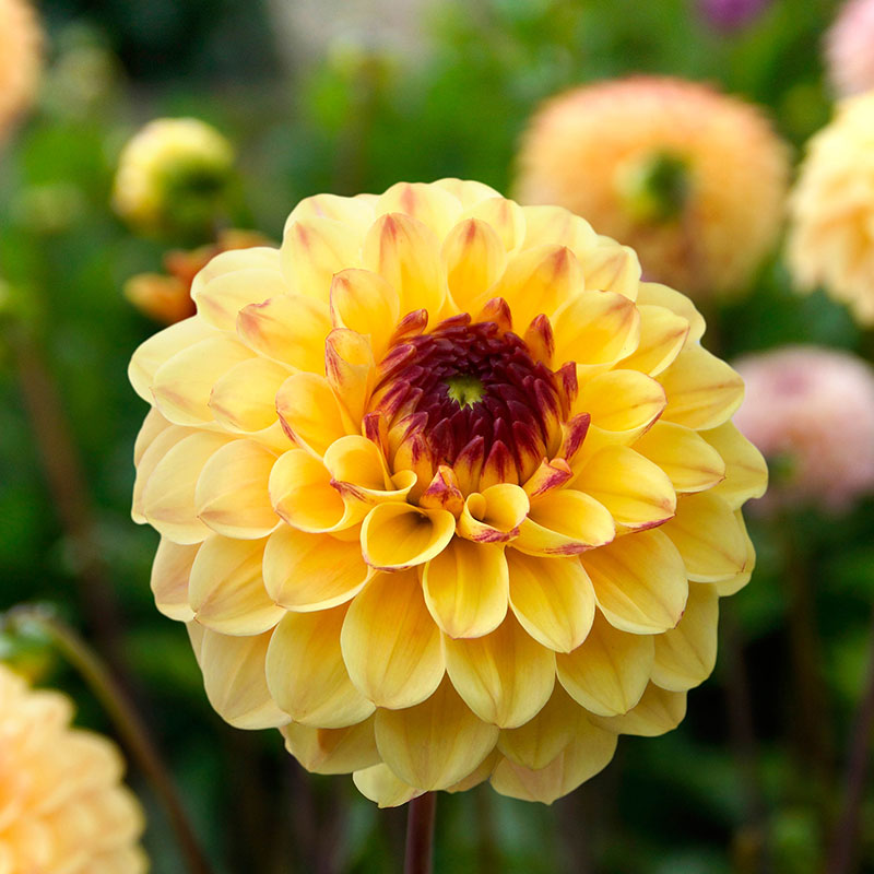 Knöl till Pompondahlia 'Yellow Jill'