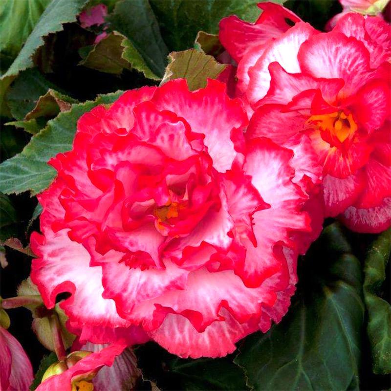 Knölbegonia 'Ruffled White-Pink'