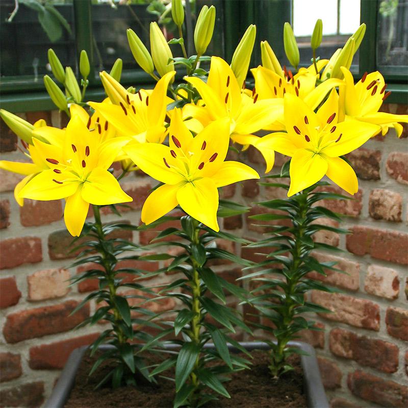Låg asiatlilja 'Yellow'