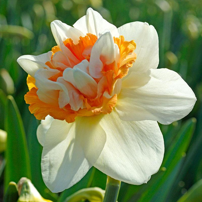 Narciss 'Extravaganza'