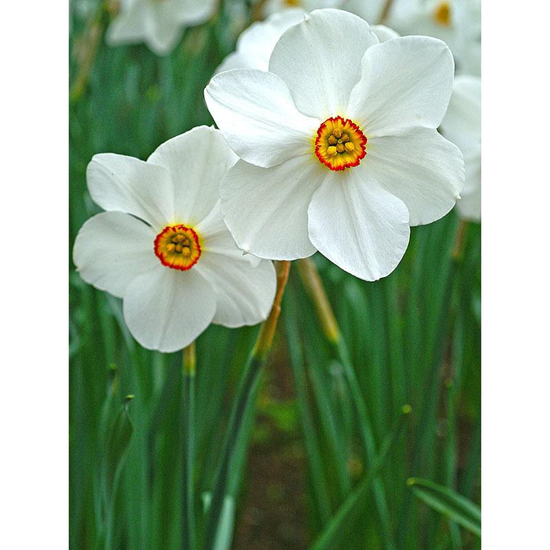 Narciss 'Recurvus'