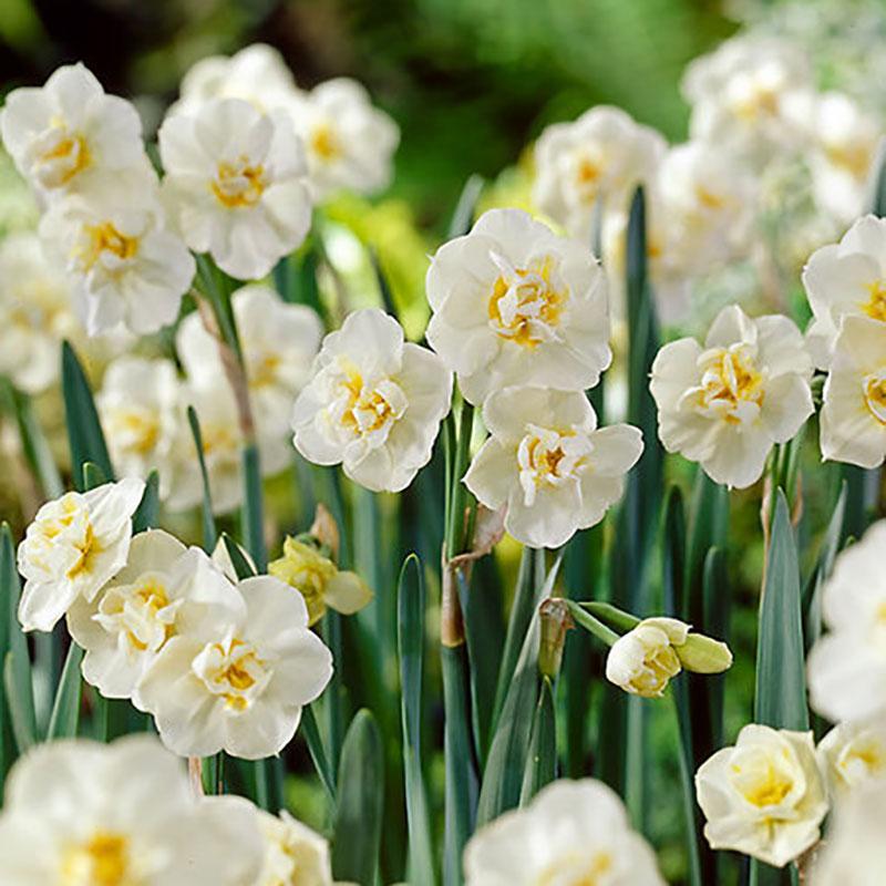 Narciss, Tazett 'Erlicheer'