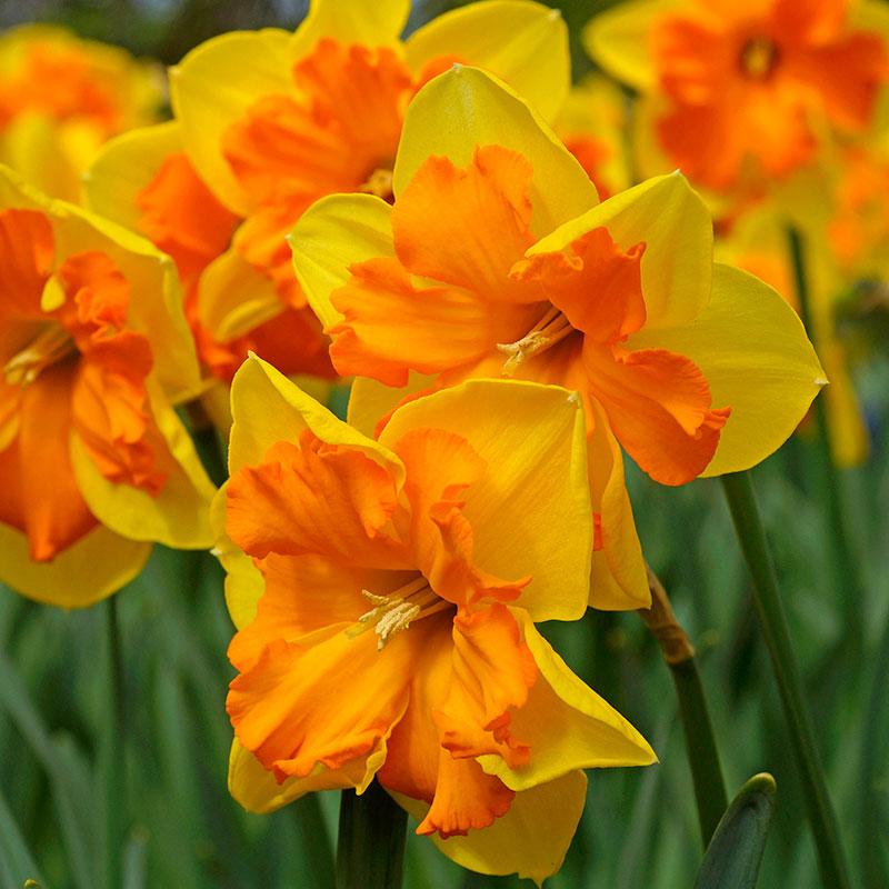 Narcissus 'Congress'