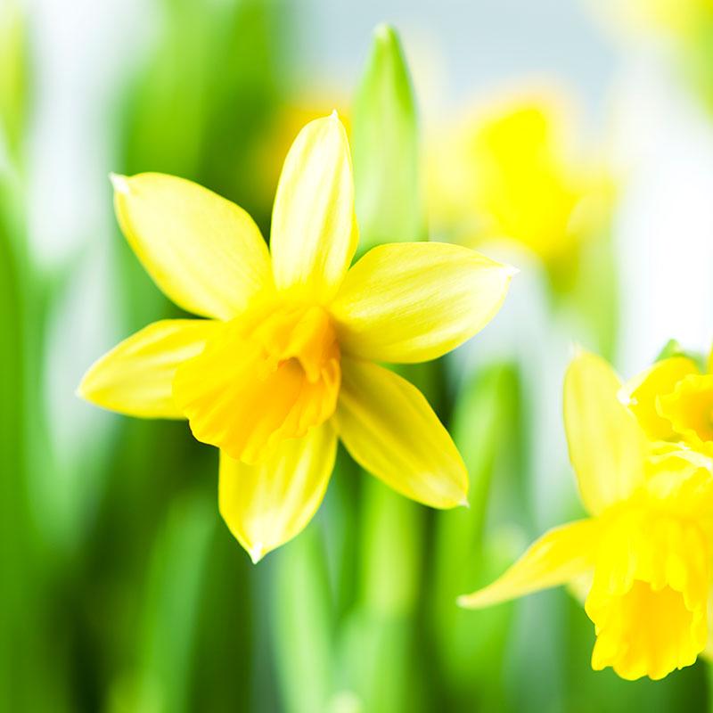 Narciss, Narcissus 'Tête-à-Tête'
