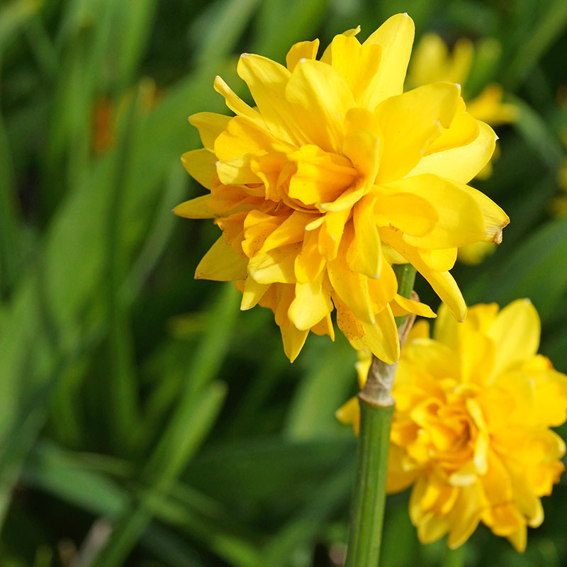 Narcissus 'Tete Boucle'
