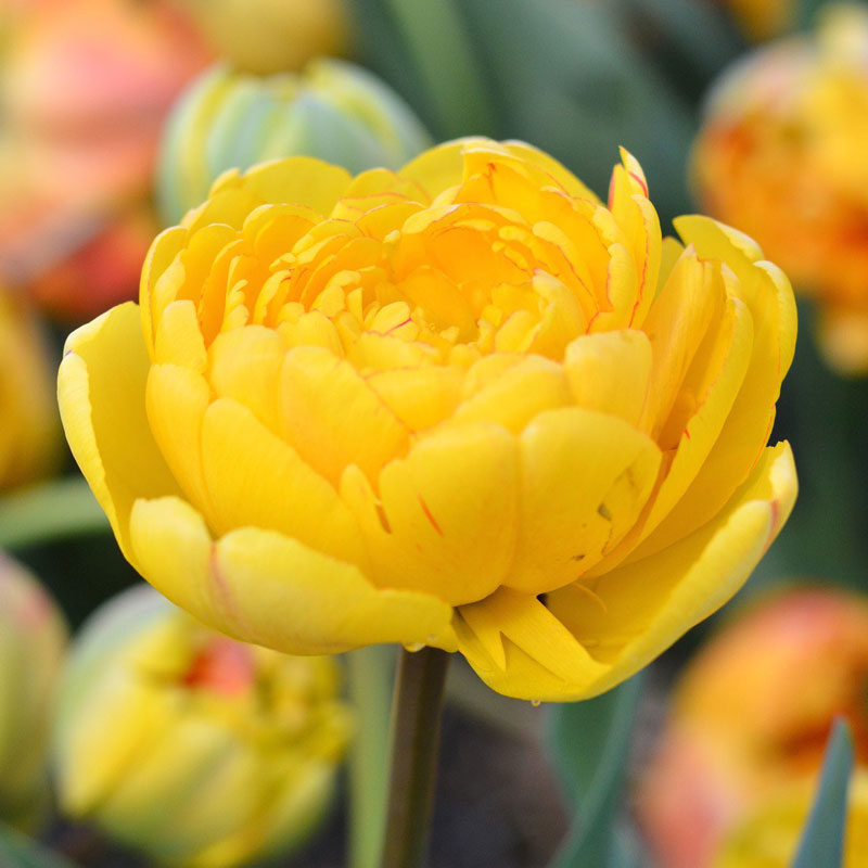 Tulpan 'Yellow Pomponette'