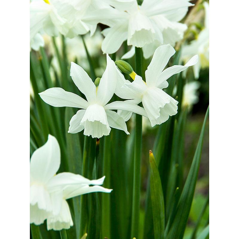 Orkidénarciss 'Thalia'