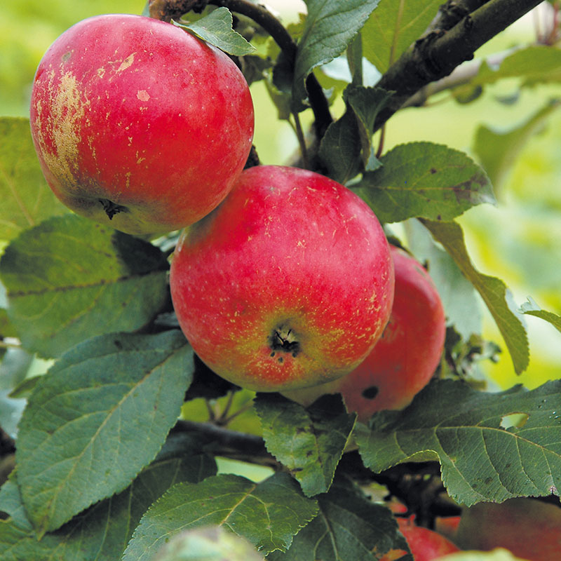 Äpple av sorten 'Alice'