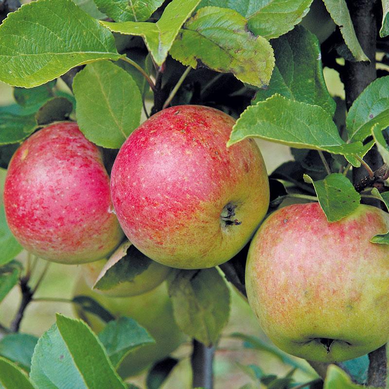 Äpple av sorten 'Amorosa'