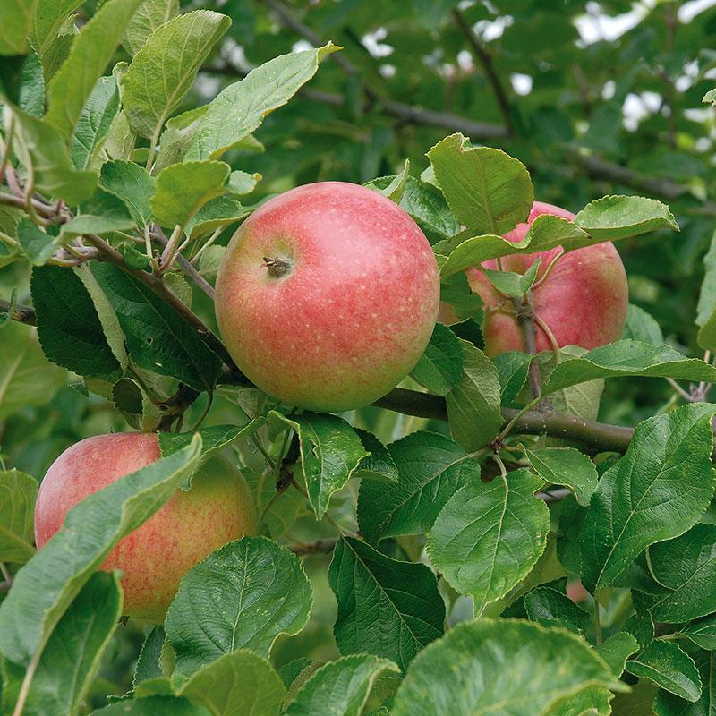 Äpple av sorten 'Aroma'
