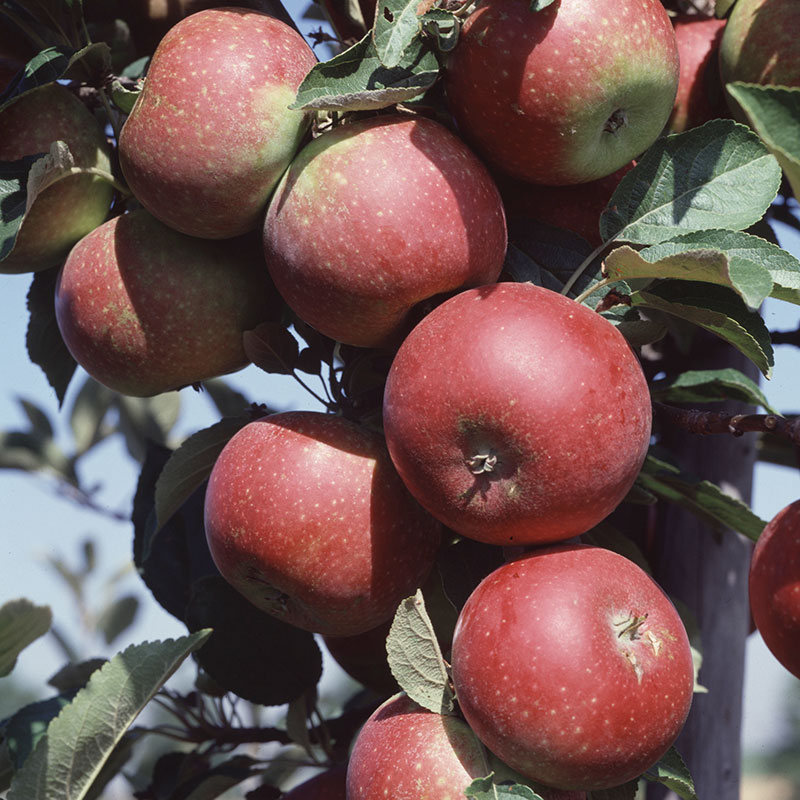 Äpple av sorten 'Ingrid Marie'