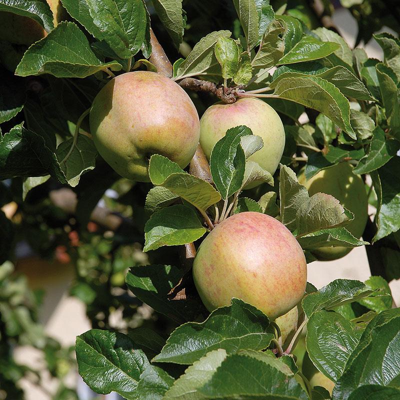 Äpple av sorten 'Melonäpple'