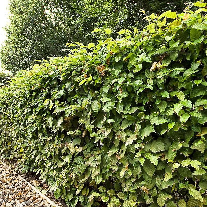 Häckväxt Avenbok, Carpinus Betulus