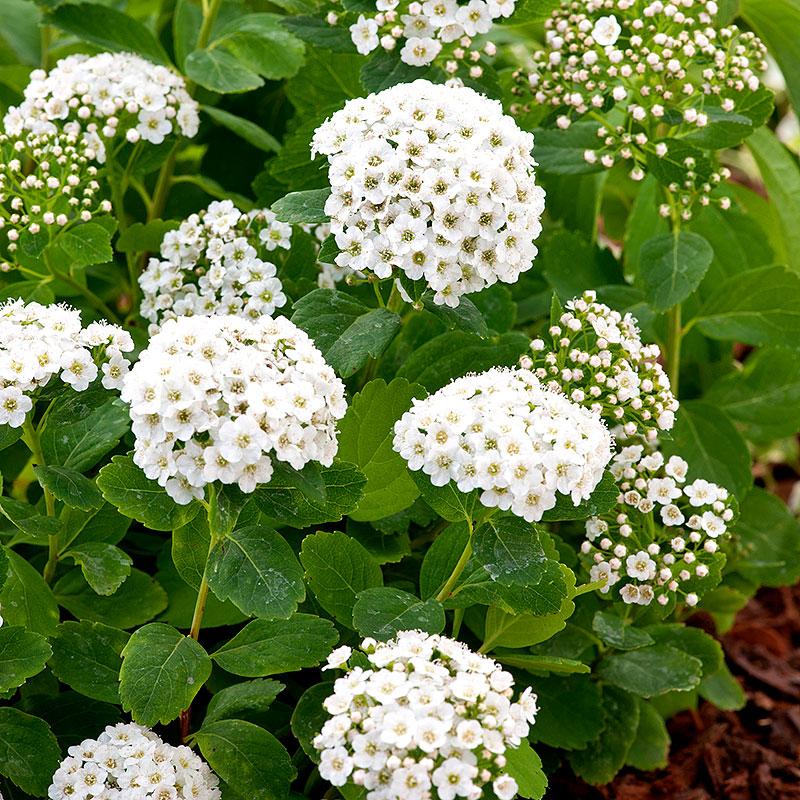 Häckväxt Björkspirea, Spirea Betulifolia